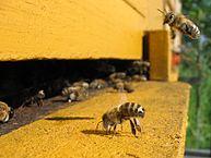 Abeilles a l entree d une ruche