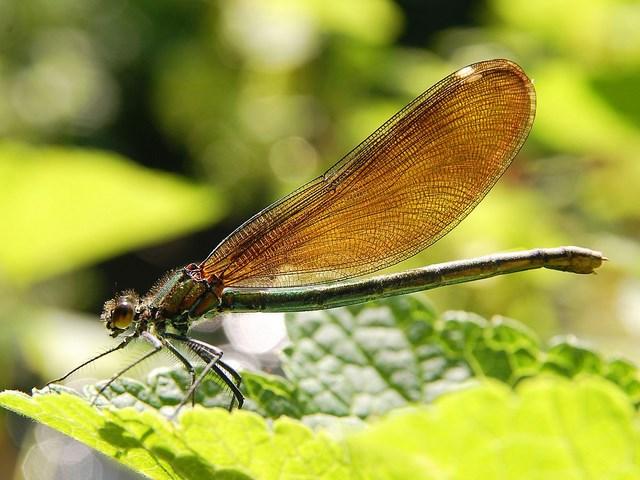 Colapteryx virgo 640x480