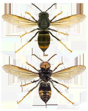 Vespa velutina nigrithorax frelon asiatique
